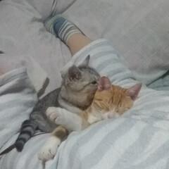 暖かい/ケツ枕/寝る/仲良し?/保護猫/サバトラ毛長/... 私のケツ  うつ伏せになって スマホつつ…