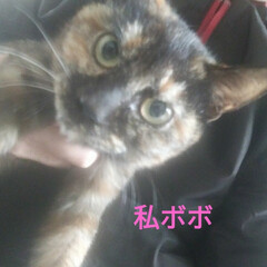 猫との暮らし/ニャンコ同好会/サビ猫/里親探し/避妊手術/捕獲猫/... 捕獲猫ボボちゃん🐱  もう野良猫の顔じゃ…