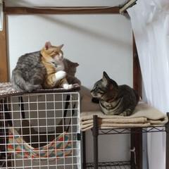 保護猫/性格/サバトラ毛長/茶トラシロ/キジトラ/ニャンコ同好会/... 個性的な3匹さん😸  性格ぜんぜ~ん違う