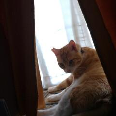 茶トラ白ハチワレ/写真/思い出/猫のいる暮らし/ニャンコ同好会/里親さん/... ここ最近の マルの写真😸  他県に行った…(3枚目)