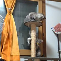 猫パンチ/猫のいる暮らし/ニャンコ同好会/野良猫/保護猫 チビちゃん速すぎ😼  サクラ たまに猫パ…