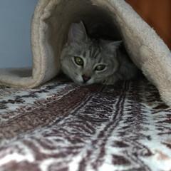 サバトラ/猫ケージ/隠れんぼ/ニャンコ同好会/ダイソー/100均/... 猫ケージ上の 猫衆が外を見る場所の 敷物…(2枚目)