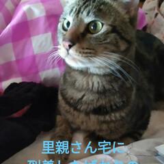 幸せに暮らしています/野良猫から飼い猫へ/ありがとう/里親さん/アメショー系/さくら耳/... 野良保護猫 そらくん 里親さんの お家で…(1枚目)