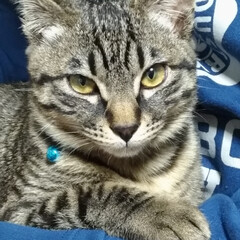 保護猫/キジトラ/ペット/猫/にゃんこ同好会 キリッと顔テンちゃん(*⌒▽⌒*) から…
