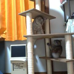 サビ猫/サバトラ/キジトラ/脱走/ニャンコ同好会/猫との暮らし/... メルカリで先日買ったキャットタワー テン…(7枚目)