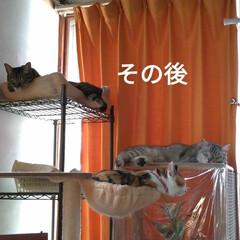 ニャンコ同好会/朝から/猫との暮らし/昼寝/サクラ耳/ふてくされ/... 朝から 作業とか動いたから ニャンズも …(6枚目)