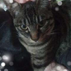保護猫/キジトラ/令和の一枚/LIMIAペット同好会/にゃんこ同好会/雑貨/... 先程のテンちゃん😸  まぁ、うろうろ乗っ…