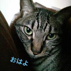 サビ猫/サバトラ/キジトラ/猫との暮らし/ニャンコ同好会 昨夜の テン チロ サクラ😍(9枚目)