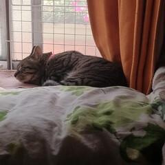 サバトラ/キジトラ/茶トラ白/保護猫/仲良し/寝姿/... 3匹の寝姿☺️  色々だな~😸💕(8枚目)
