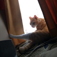茶トラ白ハチワレ/写真/思い出/猫のいる暮らし/ニャンコ同好会/里親さん/... ここ最近の マルの写真😸  他県に行った…(4枚目)