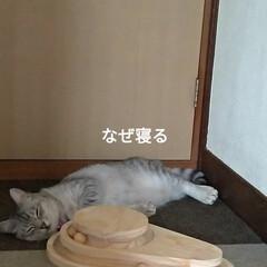 猫オモチャ/猫との暮らし/キャットタワー合体/キャットタワー部品/爪とぎ/キャットタワー/... オモチャで密かに遊んでたサクラに カメラ…(2枚目)