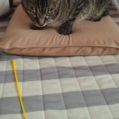 猫じゃらし/暑い/戸コマ紐絡み/キジトラ/住まい/掃除/... あちー 以前から和室室内硝子戸が、途中出…