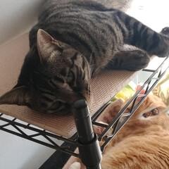 サバトラ/キジトラ/茶トラ白/保護猫/仲良し/寝姿/... 3匹の寝姿☺️  色々だな~😸💕(2枚目)