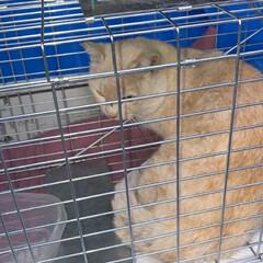 耳カット/さくら猫/疲れた/湿布/去勢手術/野良猫/... 今日の去勢手術野良猫も重かった  腰が……(1枚目)