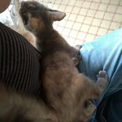 耳ダニ/顔合わせ/バケツ風呂/猫シャワー/ケージ組み立て/スリスリ/... 今回の子猫の ダイソーワイヤーネット簡易…