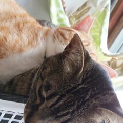 サバトラ/キジトラ/茶トラ白/保護猫/仲良し/寝姿/... 3匹の寝姿☺️  色々だな~😸💕(4枚目)