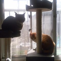 茶トラシロ/サバトラ毛長/キジトラ/保護猫/仲良し/キャットタワー/... 初キャットタワーに3匹乗ってくれた☺️ …