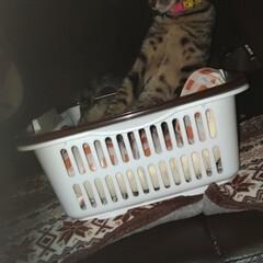 保護猫/キジトラ/ペット/猫/にゃんこ同好会/100均 テンちゃんに 100均のカゴ 2つ買いま…(3枚目)