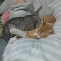 暖かい/ケツ枕/寝る/仲良し?/保護猫/サバトラ毛長/... 私のケツ  うつ伏せになって スマホつつ…(3枚目)