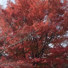 紅葉/風景 今年 実物で見た紅葉🍁🍂きれいだった~お…(2枚目)