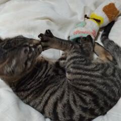 保護猫/キジトラ/風邪/ペット/猫/にゃんこ同好会 風邪ひいたので  テンちゃんと布団で遊ぶ…(4枚目)