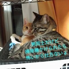 猫/ペット/掃除機怖い/男同士/茶トラシロ/キジトラ/... 先日、掃除機をかけたら 珍しくテンの居場…(3枚目)