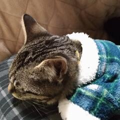 ペット/猫/にゃんこ同好会/100均/ダイソー テンちゃん 初めての服😺 被せるのはムリ…