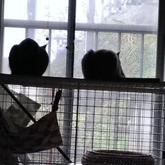 ぎっくり腰/雨/ニャンコ同好会/猫/シルエット/暮らし 今日は雨☔️ 逆光で 2匹のシルエット🐱…