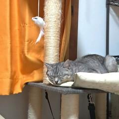 寝相/可愛い/寝る/ニャンコ同好会/猫との暮らし/猫 眠い猫衆🐱💤  もう少ししたら 起きて暴…(2枚目)