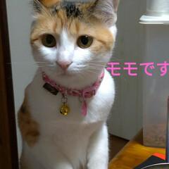 猫との暮らし/にゃんこ同好会/キジトラ/三毛猫/野良猫出身 コメント書く前にアップロードしてもうた …(3枚目)