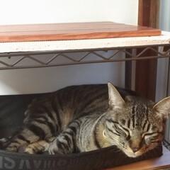 雨/寒い?/保護猫出身/可愛い/お昼寝/キジトラ/... 今日も天気は雨で お昼頃、テンは寒かった…(4枚目)