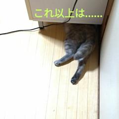 模様替え/頭隠して尻隠さず/棚移動/可愛い/ニャンコ同好会/猫との暮らし/... サクラ、顎のせして可愛いな~💕  移動し…(4枚目)