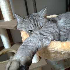 毛繕い/うたた寝/サビ/キジトラ/サバトラ/猫との暮らし/... サクラ~カワイイ😍  チビチビ 私の腹の…