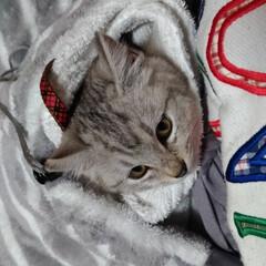 保護猫/野良猫/サクラカット/サクラちゃん/命名/威嚇/... いかく保護子猫ちゃん😼  昨日首輪をお下…(3枚目)