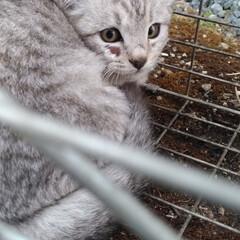 フワフワ/サバトラ/多頭飼育崩壊/放し飼い/にゃんこ同好会/ケガ/... あーあ、 先週日曜日に保護猫譲渡できたの…