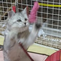 遊び/おもちゃ/避妊手術/茶トラ白/サバトラ毛長/強制慣れさせ中/... 保護猫サクラ 前に作ったハンモックを気に…(5枚目)