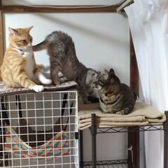 保護猫/性格/サバトラ毛長/茶トラシロ/キジトラ/ニャンコ同好会/... 個性的な3匹さん😸  性格ぜんぜ~ん違う(3枚目)
