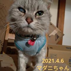 サクラカット/さくら耳猫/ご縁/可愛い/猫との暮らし/ニャンコ同好会/... 先程 マダニちゃん(テラ)のお迎えに こ…(1枚目)