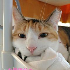 眠たい猫/掃除機/猫の歯/キジトラ/三毛猫/ポカリスエット/... 今日は数年合ってない、いとこがポストに物…(2枚目)