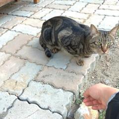 懐いてる/野良猫 マダニちゃんの事が気になるなか 昨日キジ…(3枚目)