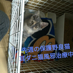 高栄養餌/父入院中/多頭飼いもう無理です/ビビる/野良猫/保護猫/... はぐれ野良捕獲作戦のサビ猫ちゃんは しっ…