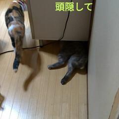 模様替え/頭隠して尻隠さず/棚移動/可愛い/ニャンコ同好会/猫との暮らし/... サクラ、顎のせして可愛いな~💕  移動し…(3枚目)