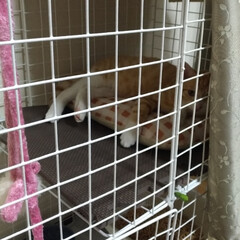 キジトラ/茶トラ白/保護猫/トイレ/洗い桶/二階建て/... 保護猫茶トラ白は、 一段のケージに入れる…(3枚目)