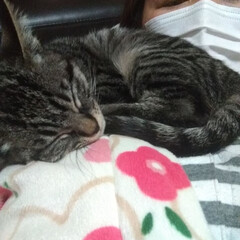 風邪/ペット/猫 風邪引いて 転げてるのに テンちゃんは …