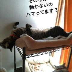 へそ天/腹だし/キャットタワー/宇宙船/キジトラ/猫との暮らし 今日も朝 変な格好のまま 頭だけ動かす🐱…(4枚目)