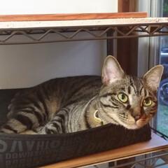 雨/寒い?/保護猫出身/可愛い/お昼寝/キジトラ/... 今日も天気は雨で お昼頃、テンは寒かった…(3枚目)