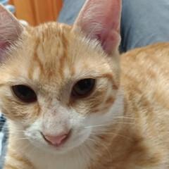 オス/ねこ/ペット/バトル/耳ダニ治療中/先住猫さん/... 保護猫茶トラ白ちゃん治療中 テンちゃんに…