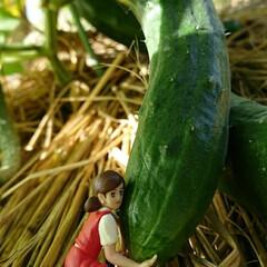 野菜/畑/収穫/きゅうり 🥒の収穫😆