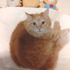 茶トラ/猫 私も一緒に寝るにゃ♪