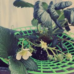 テラスハウス/メルカリ購入 テラスの苺ちゃん(桃苺)が花を付け始めた…